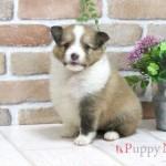 シェットランドシープドッグ(シェルティ)子犬・セーブル&ホワイト・メス