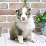 シェットランドシープドッグ(シェルティ)子犬・セーブル&ホワイト・オス