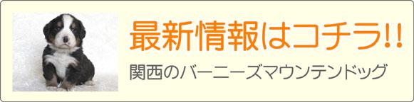 関西バーニーズマウンテンドッグブリーダー最新子犬販売情報