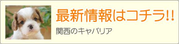 関西キャバリアブリーダー最新子犬販売情報