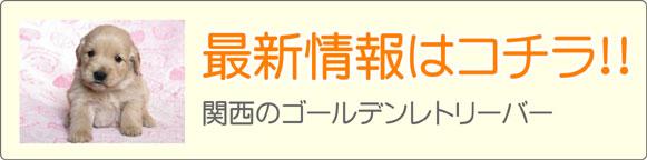 関西ゴールデンレトリーバーブリーダー最新子犬販売情報
