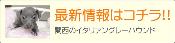 関西のイタリアングレーハウンド最新子犬販売情報