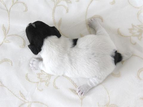 ジャックラッセルテリア・トライ・スムース子犬