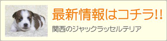 関西ジャックラッセルテリアブリーダー最新子犬販売情報