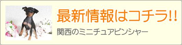 関西ミニチュアピンシャーブリーダー最新子犬販売情報