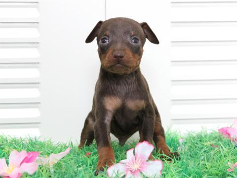 ミニチュアピンシャー・チョコタン子犬