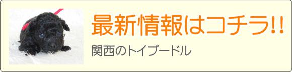 関西トイプードルブリーダー最新子犬販売情報