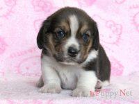 滋賀県・甲賀市(関西)ビーグル子犬|2015.4.23生・トライ・メス|ID:150503091600