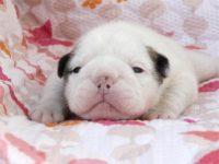 大阪府・泉大津市(関西)ブルドッグ子犬|2015.4.22生・ホワイト&レッド・メス|ID:150509054511