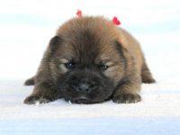 滋賀県・甲賀市(関西)チャウチャウ子犬|2015.4.16生・レッド・メス|ID:150502193133