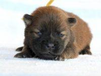 滋賀県・甲賀市(関西)チャウチャウ子犬|2015.4.16生・レッド・メス|ID:150502193517