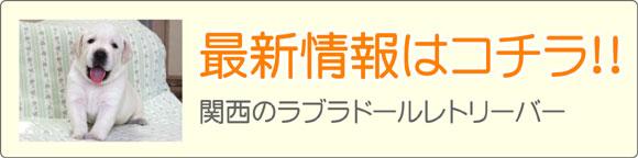 関西ラブラドールレトリーバーブリーダー最新子犬販売情報