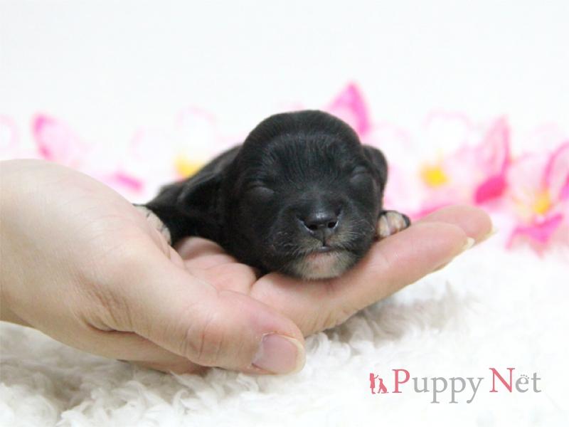 ミックス犬(ハーフ犬)チャイプー子犬