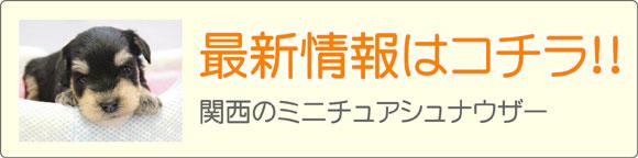 関西ミニチュアシュナウザーブリーダー子犬販売情報