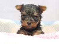 和歌山市(関西)ヨークシャーテリア(ヨーキー)子犬|2015.4.6生・メス|ID:150508092430