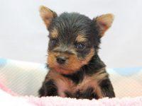 和歌山市(関西)ヨークシャーテリア(ヨーキー)子犬|2015.4.6生・オス|ID:150508093341