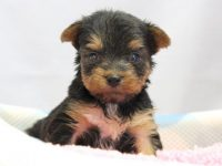 和歌山市(関西)ヨークシャーテリア(ヨーキー)子犬|2015.4.6生・オス|ID:150508093723