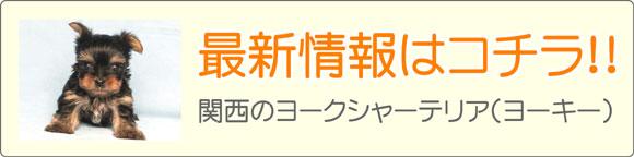 関西ヨークシャーテリア(ヨーキー)ブリーダー最新子犬販売情報
