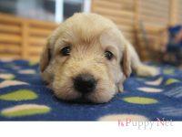 三重県(関西)ラブラドゥードル子犬|2015.5.20生・クリーム・メス|ID: 150615164025
