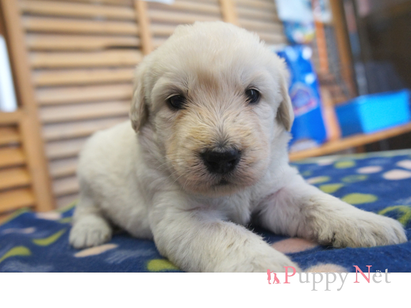 ラブラドゥードル子犬・クリーム・メス