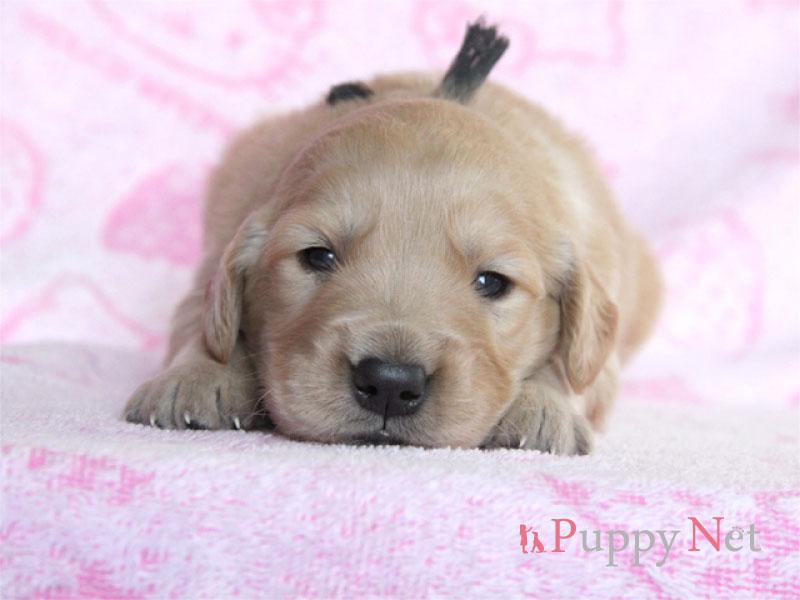 ゴールデンレトリーバー子犬