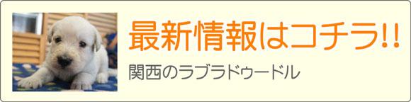 関西ラブラドゥードルブリーダー最新子犬販売情報