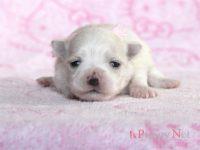 滋賀県(関西)マルチーズブリーダー子犬|2015.6.7生・ホワイト・メス|ID: 150624175850