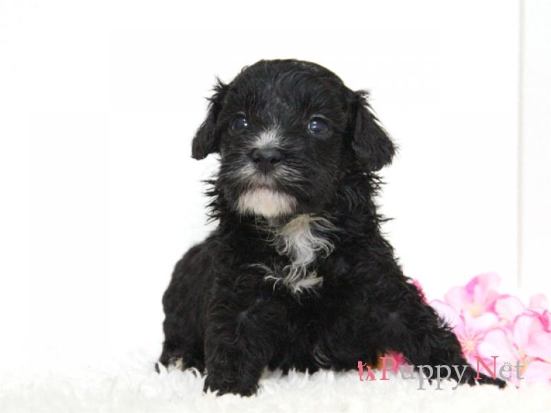 ミックス犬(ハーフ犬)チャイプー子犬・オス