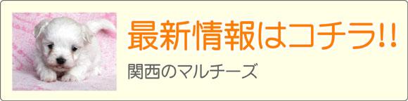 関西(近畿)マルチーズブリーダー最新子犬販売情報
