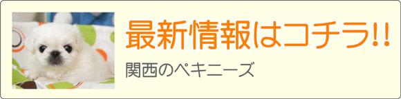 関西ペキニーズブリーダー子犬販売情報