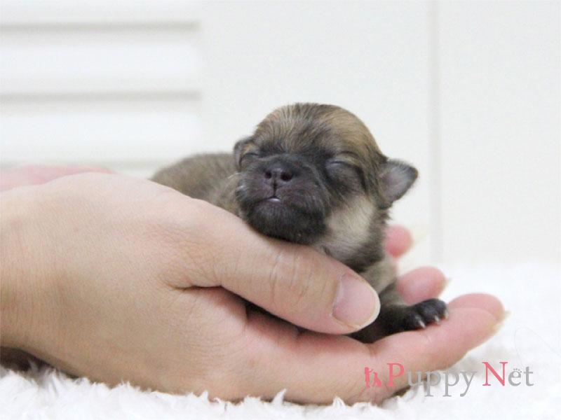 ポメラニアン子犬・オレンジ・メス