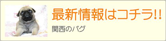 関西・近畿パグブリーダー最新子犬販売情報