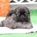 ペキニーズ子犬・フォーン(明るめフォーン)・メス