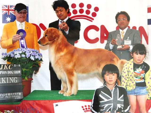 ゴールデンレトリーバー父犬・JKCチャンピオン