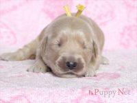 滋賀県・甲賀市(関西)ゴールデンレトリーバー子犬|2015.8.20生・メス|ID:150831141008