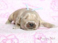 滋賀県(関西)ゴールデンレトリーバー子犬|2015.8.20生・オス|ID:150831140032