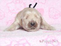 滋賀県(関西)ゴールデンレトリーバー子犬|2015.8.20生・オス|ID:150831140521