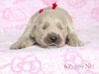 滋賀県・甲賀市(関西)ゴールデンレトリーバー子犬|2015.8.20生・メス|ID:150831140711