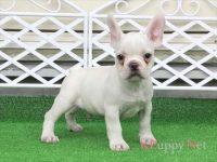 滋賀県(関西)フレンチブルドッグ子犬|2015.7.4生・クリーム・オス|ID:150725172633
