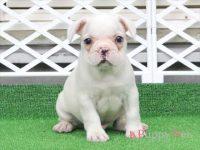 滋賀県(関西)フレンチブルドッグ子犬|2015.7.4生・クリーム・オス|ID:150725172735