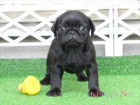 滋賀県(関西)パグ子犬|2015.7.9生・ブラック(黒パグ)メス|ID:150831131758