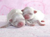 出産速報!!滋賀県(関西)可愛いマルチーズ子犬・2姉妹が誕生しました!!