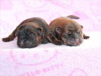 出産速報!!滋賀県甲賀市チャウチャウブリーダー犬舎でレッドの子犬が誕生しました!!