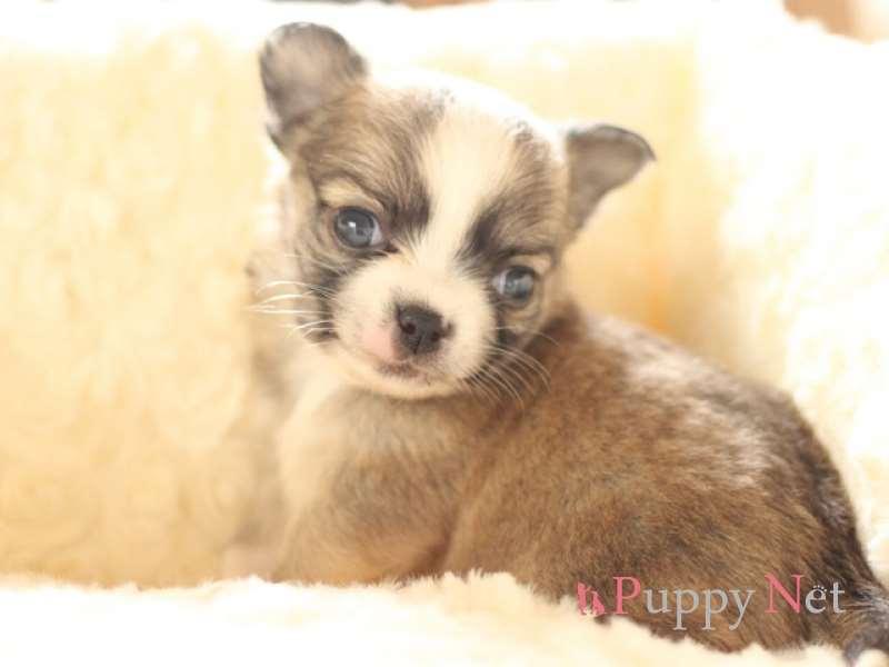 ロングコートチワワ子犬・フォーン&ホワイト・オス