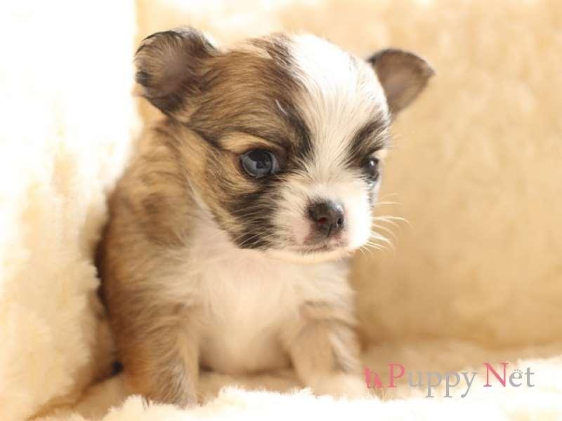 チワワ子犬・フォーン&ホワイト・オス