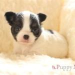 ロングコートチワワ子犬・ブラック&ホワイト・メス