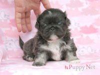 滋賀県(関西)ペキニーズ子犬|2015.11.18生・グレー&ホワイト・オス|ID:151217072647