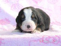 滋賀県(関西)バーニーズマウンテンドッグ子犬|2015.11.19生オス|ID :151201171214