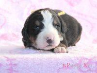 滋賀県(関西)バーニーズマウンテンドッグ子犬|2015.11.19生オス|ID :151201171549