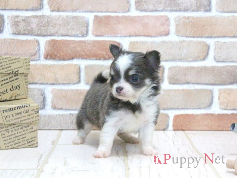 ロングコートチワワ子犬・ブルー&ホワイト・オス